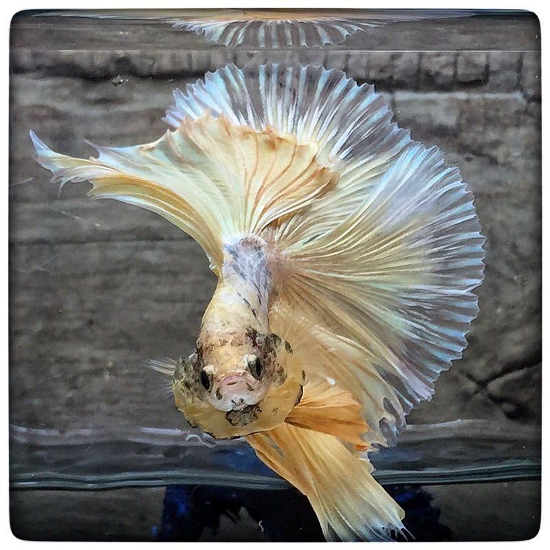 AquaBid.com -  Emperor of gold (1609)