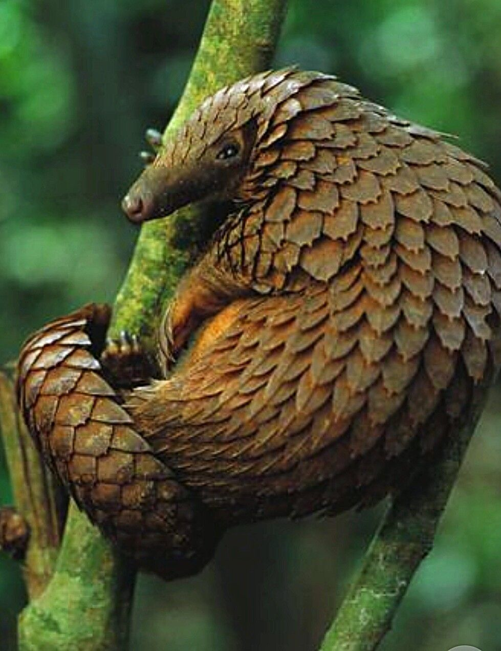 The Pangolin is the only mammal with scales. Rare