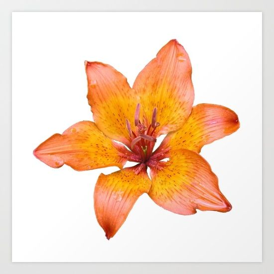 Buy Coral Colored Lily Isolated on White Art Print by taiche. Worldwide shipping available at Society6.com. Just one of millions of high quality products available.