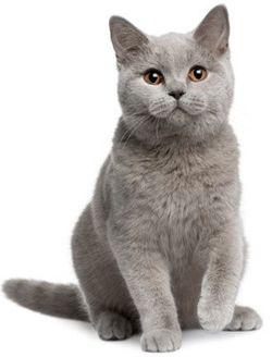 British Shorthair Cat Breed British Shorthair Kittens Cat Breeds Cats