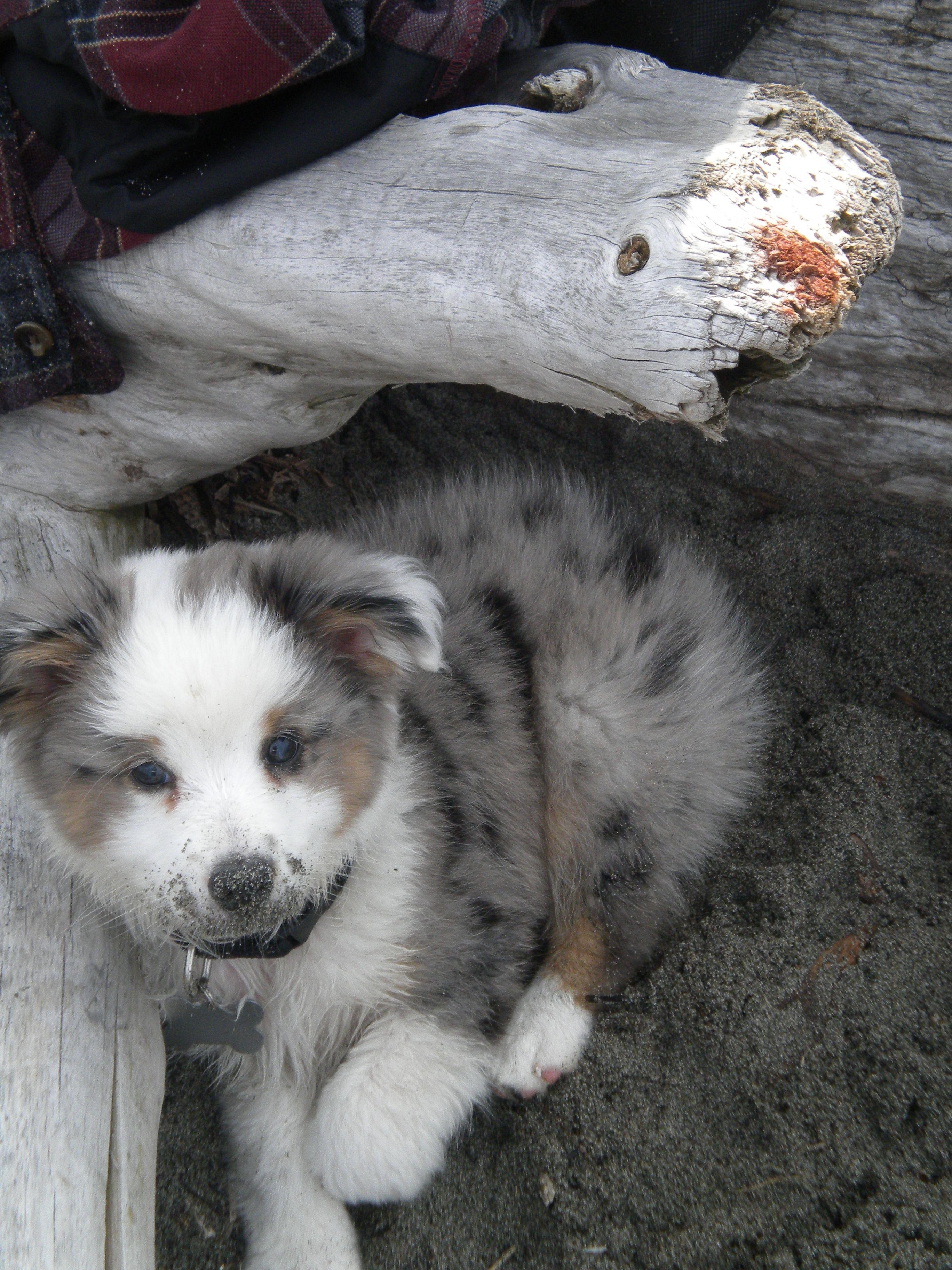Moose beach puppy mini australian shepherds