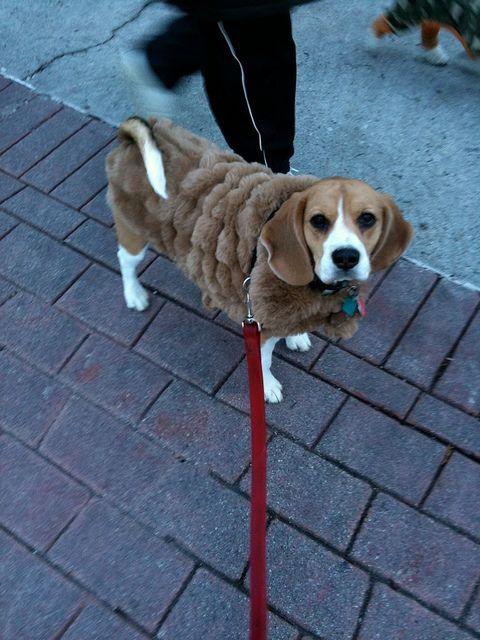 Img 0516 Baby Beagle Beagle Puppy Beagle