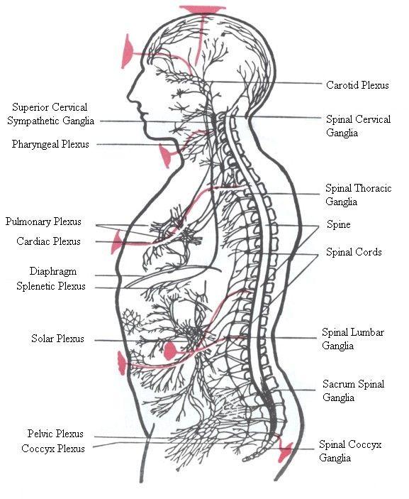 The Chakras and the nervous system | Chakra Study | Chakra