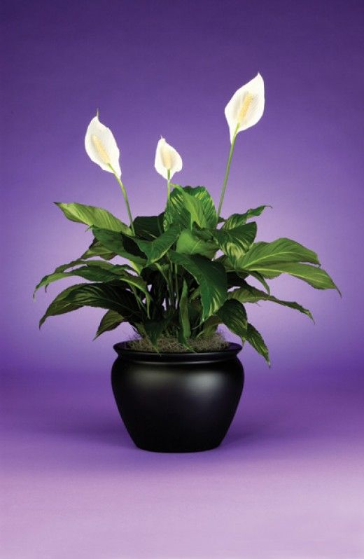 How To Take Care Of A Peace Lily House Plants Peace