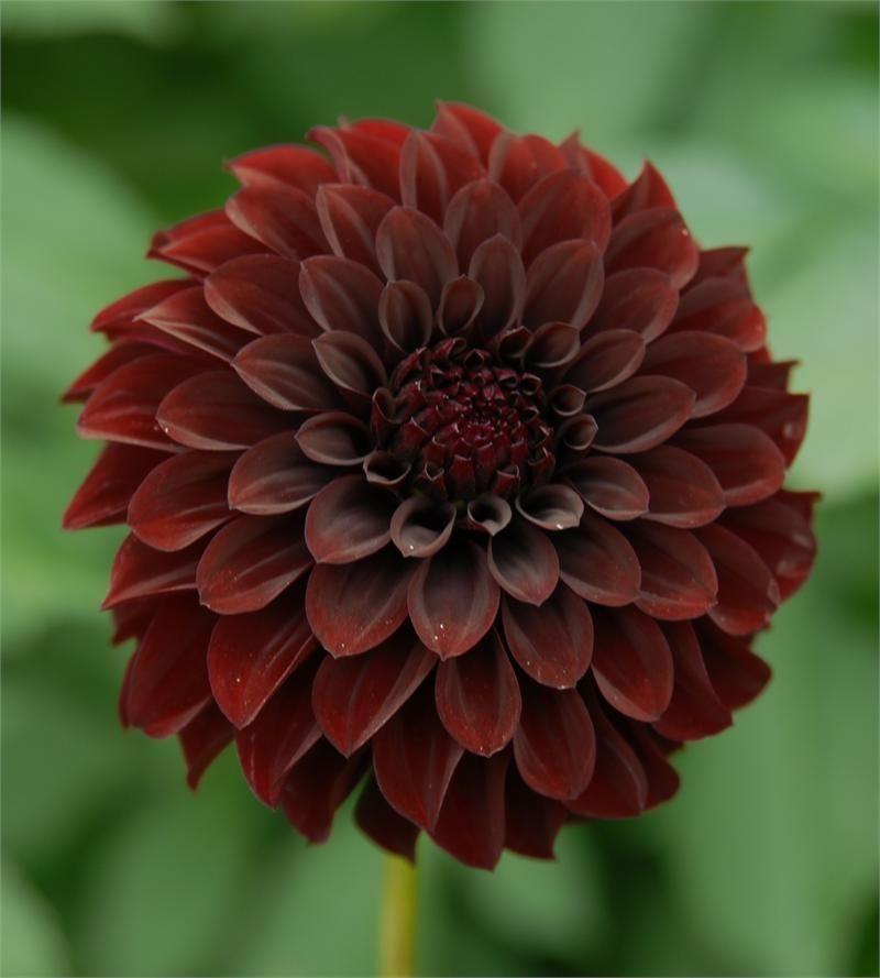 Black Satin Item 240 Dahlia Flower Flower Farm Flowers