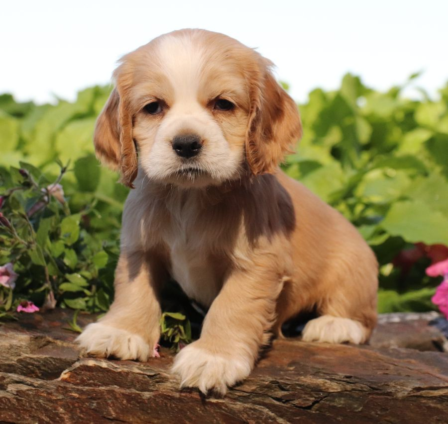 Puppies For Sale With Images Cocker Spaniel Puppies Lancaster Puppies Dog Breeder