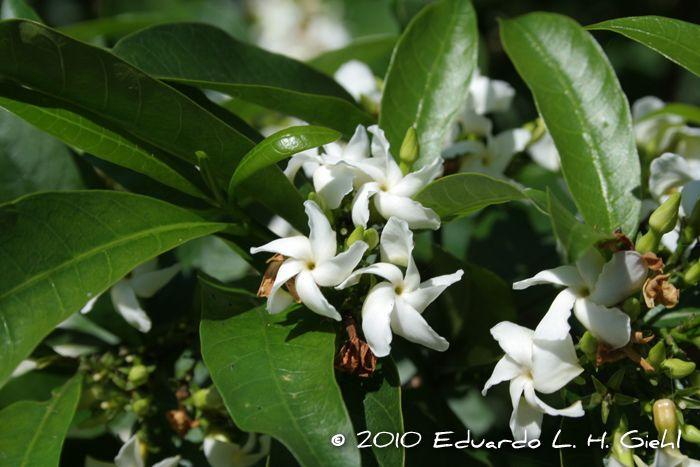 Flora Digital do Rio Grande do Sul e de Santa Catarina: Tabernaemontana catharinensis