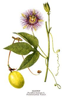 Passion Flower Health Benefits And Side Effects Passion Flower Passion Flower Herb Herbalism