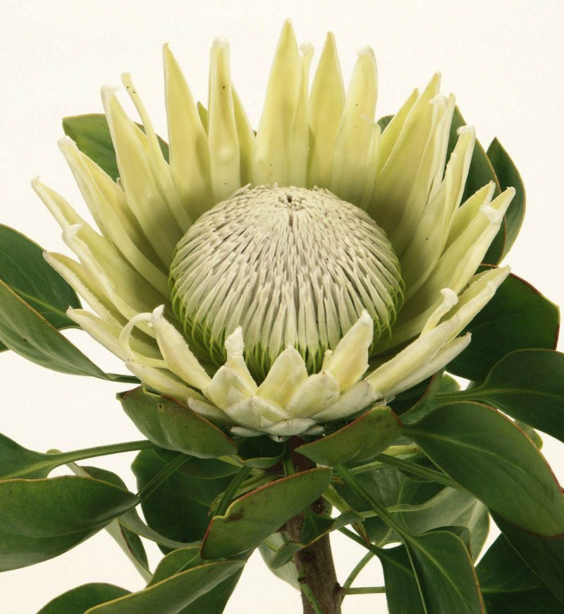 I've added proteas for structure and colour in winter