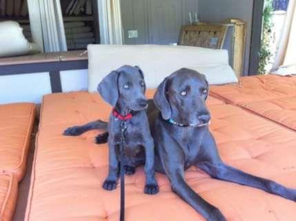 Blue Weimaraner Puppies For Sale Hoobly Weimaraners A K C Blue