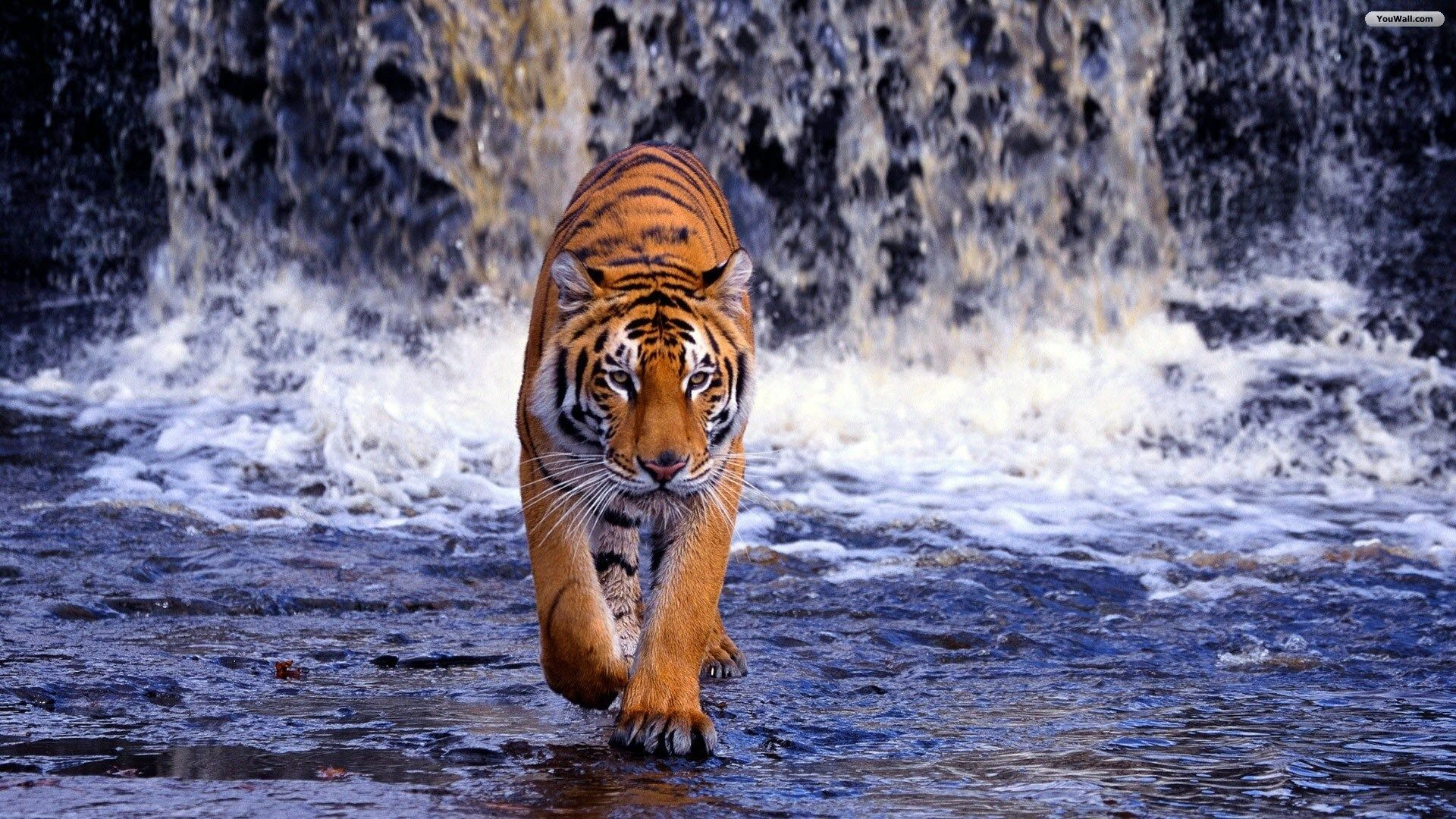 tiger and waterfall hd wallpaper | ololoshenka | pinterest | tiger