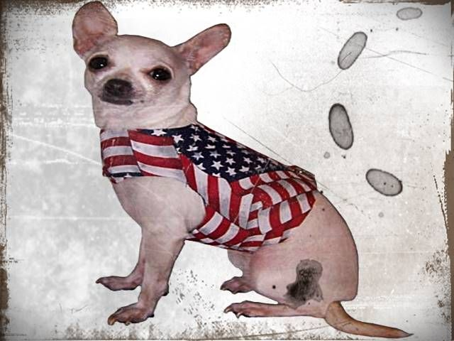 Chihuahua Puppies For Sale In Louisiana Pets Chihuahua Puppies