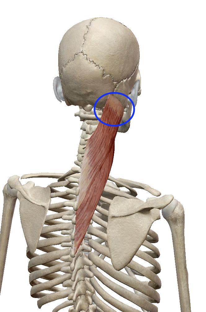 板状筋:ばんじょうきん | 筋肉のハナシ | 筋肉, 骨格筋, 筋肉解剖学