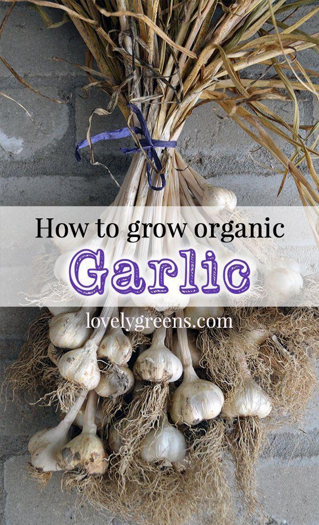 How To Grow Organic Garlic Planting Growing 400 x 300