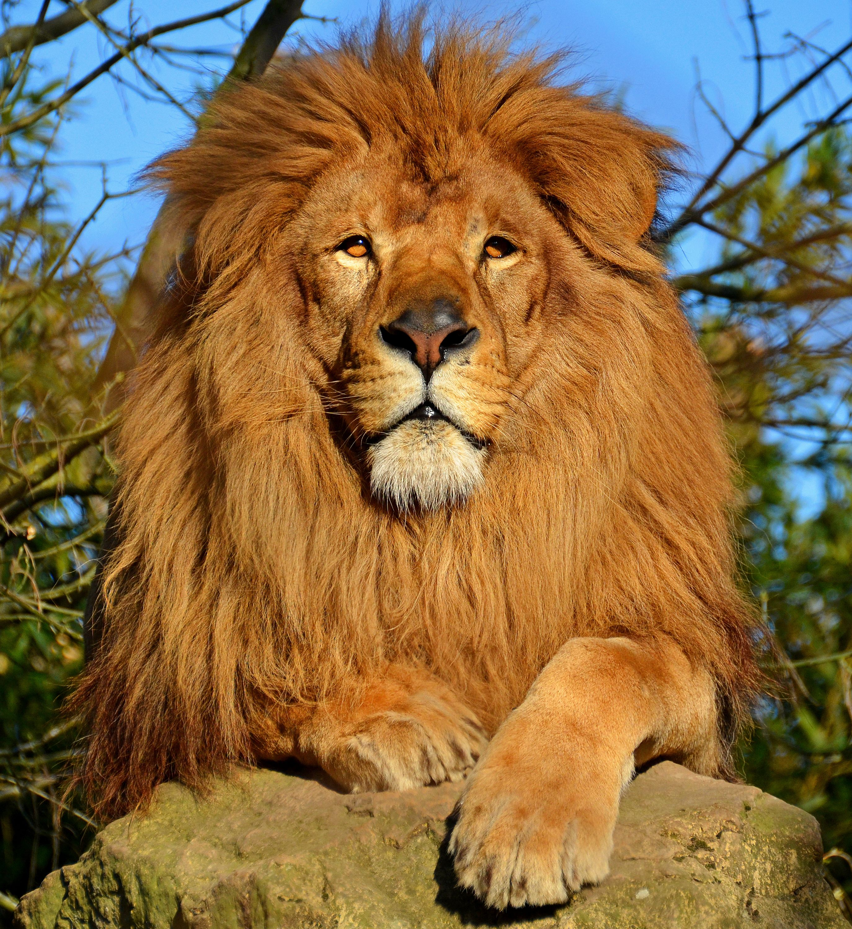 Beautiful lion [2748x2995][OS] Lion pictures, Animals