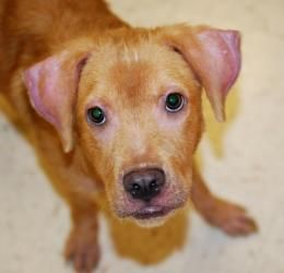 Adopt Hudson On Petfinder Lab Mix Puppies Labrador Retriever Dog Dog Adoption