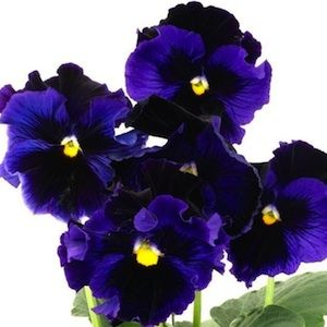 Bolero Blue With Black Top pansy seeds - Garden Seeds - Annual Flower Seeds