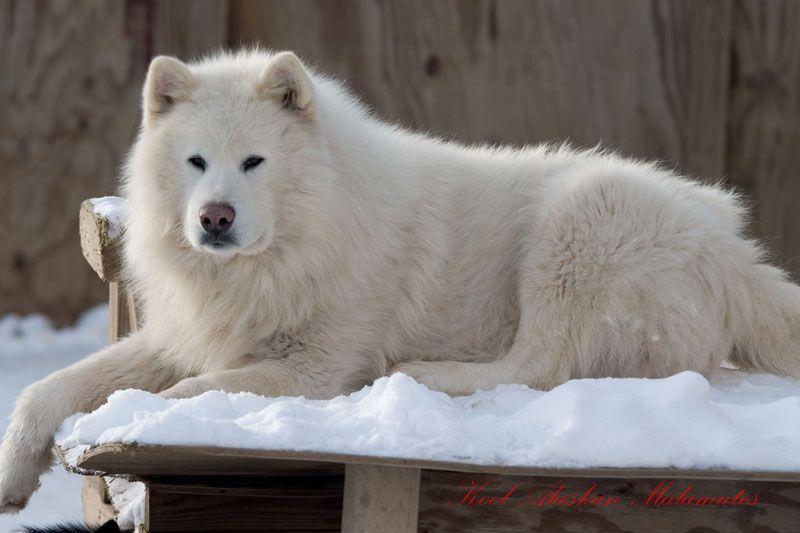 Giant Alaskan Malamute On Pinterest Giant Alaskan