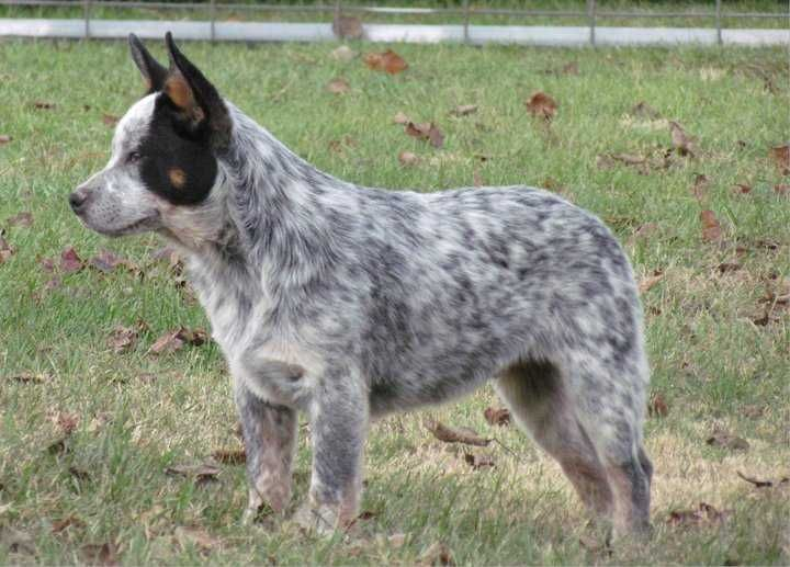 Australian Cattle Dogs For Sale Ads Free Classifieds Australian Cattle Dog Puppy Australian Cattle Dog Blue Heeler Dogs