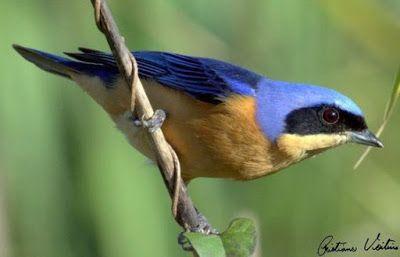 saira viuva ou saíra sapucaia_pipraeidea melanonota Brazilian Birds