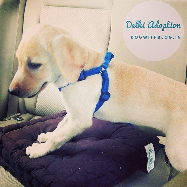 Cute Little Labrador Pup Needs A Forever Home Delhi To Adopt Please Email Adopt Apet Yahoo Com Labrador Retriever Puppies Labrador Labrador Retriever
