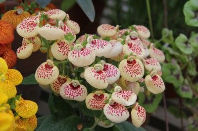 ravishing house plants care. Calceolaria Houseplants  Tips On Growing Pocketbook Plants Plant Care How To Grow Indoors