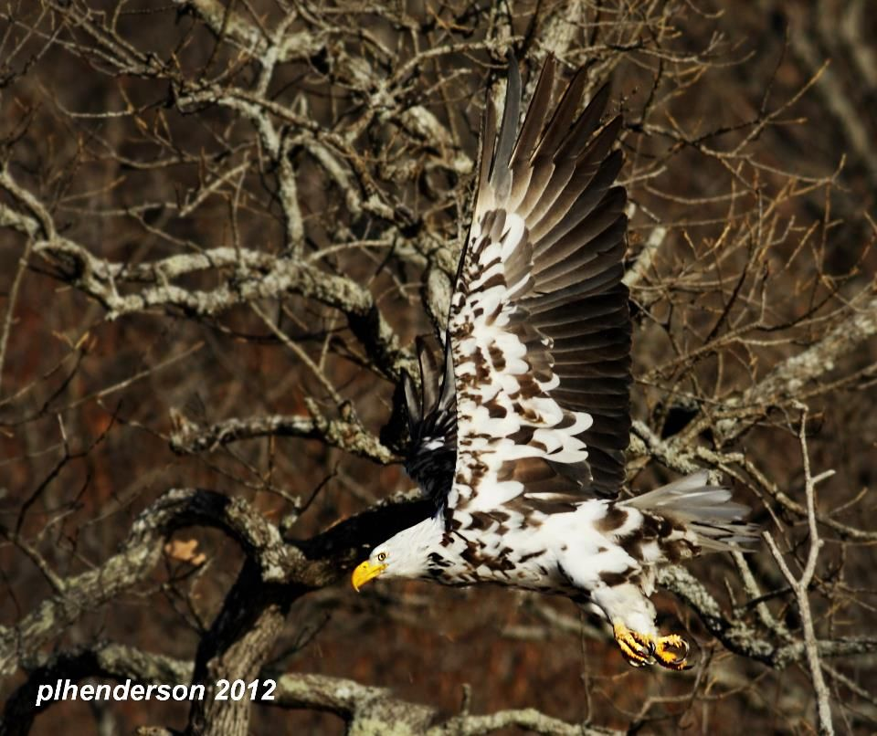 """A leucistic bald eagle - it is an adult eagle, so that means it has been able to survive at least six years with its unusual patterning. This particular eagle has been spotted a few different times, and was nicknamed """"Leu.""""  This was its appearance at Beaver Lake in Arkansas."""