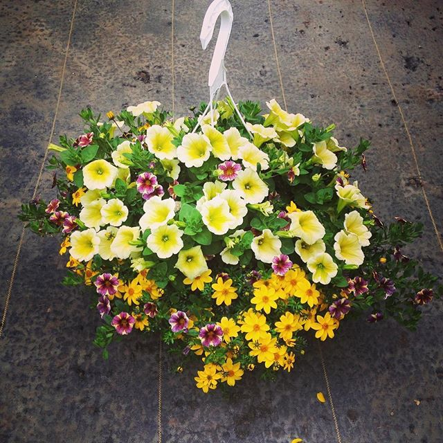 Cheerful Yellow Hanging Baskets Awesome Plants From Debs Hanging