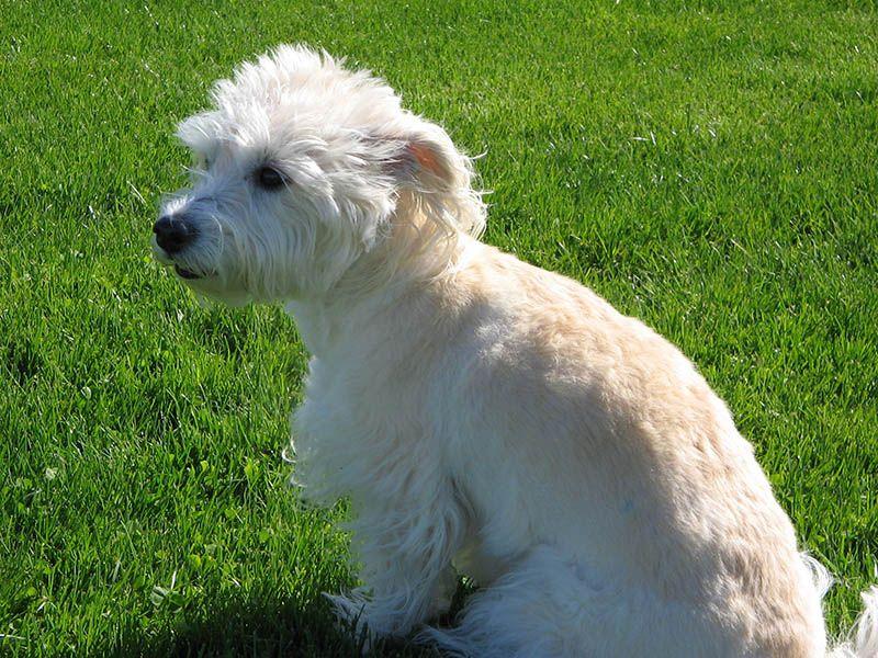 Toy Poodle Shih Tzu Maltese Mix Westiepoo Westie Terrier Puppies