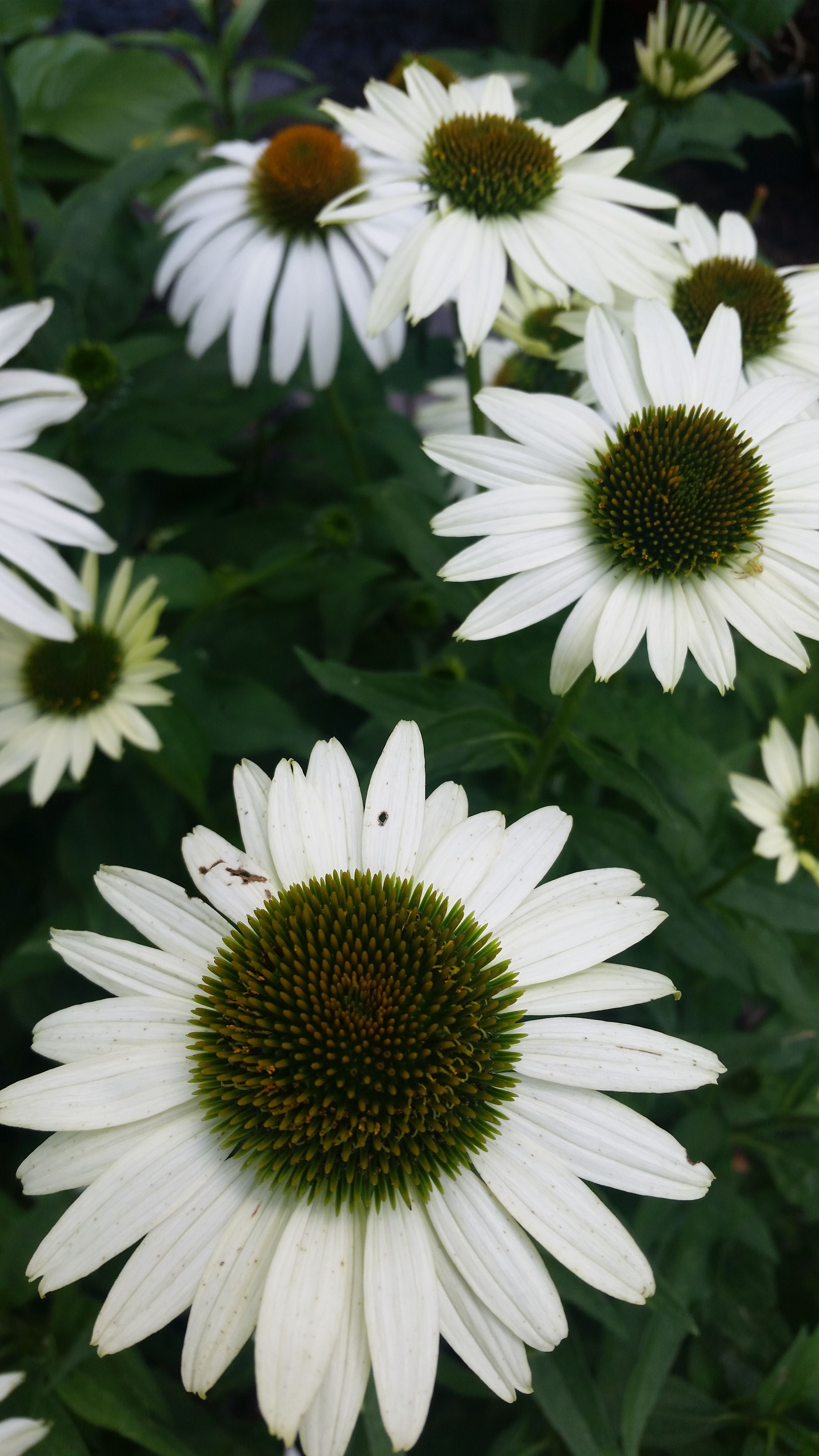 White Swan Coneflower Is An Easy To Grow Flower That Produces