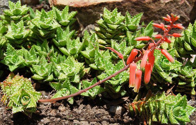 Aloe juvenna - Tiger Tooth Aloe