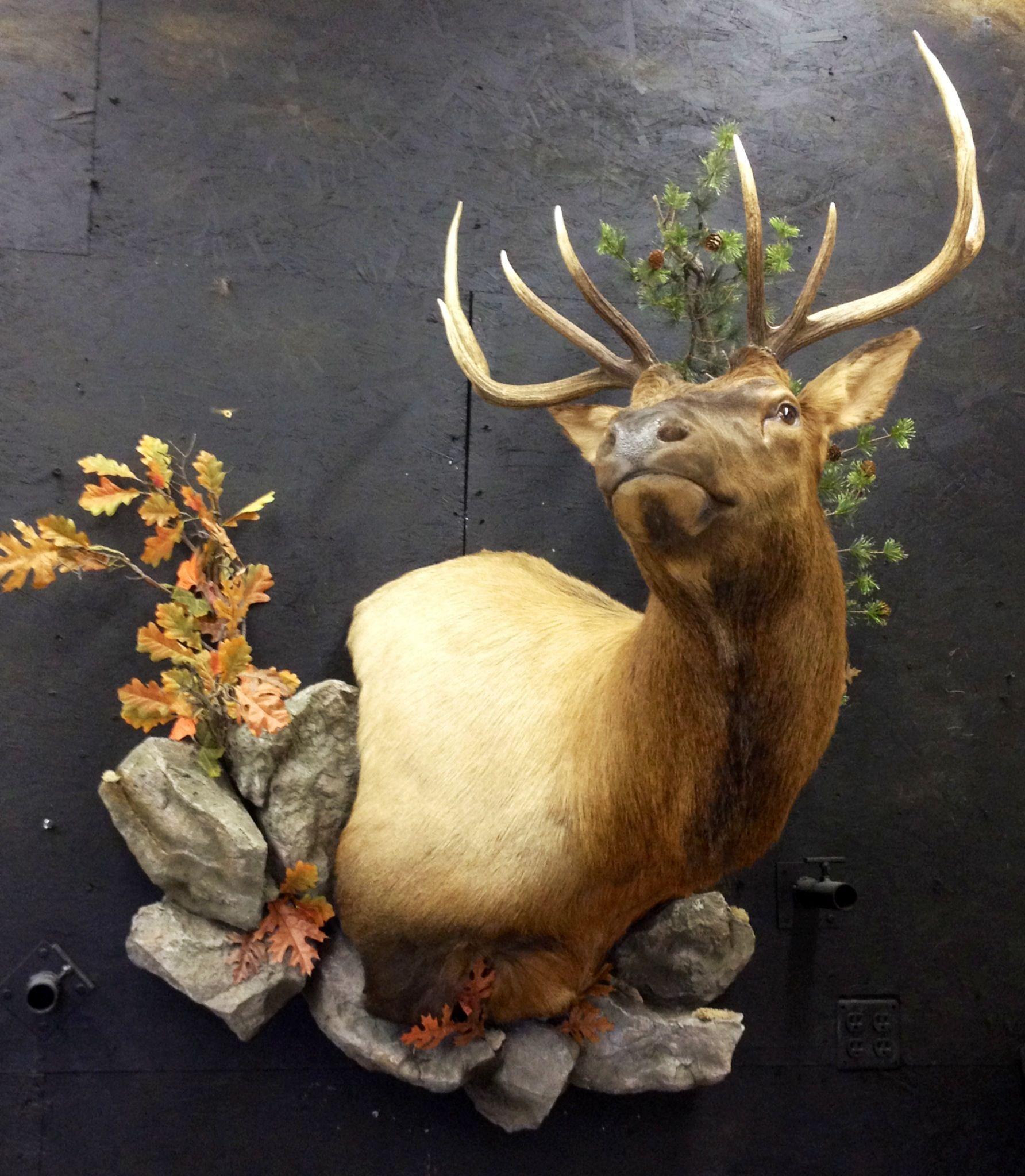 Taxidermy Elk Mount