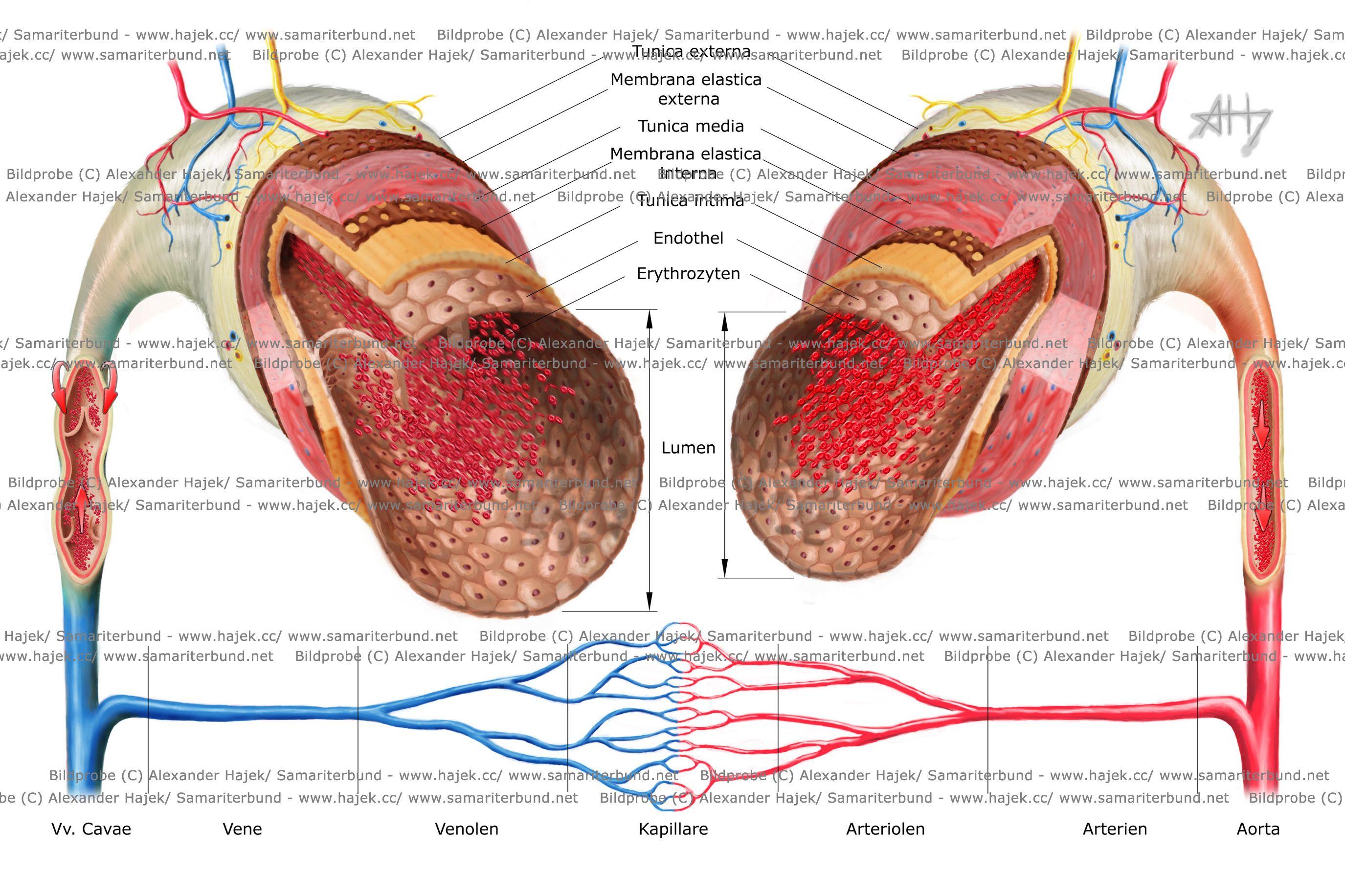 Blood vessels cornea | Blood Vessels in the Human Body | Pinterest ...