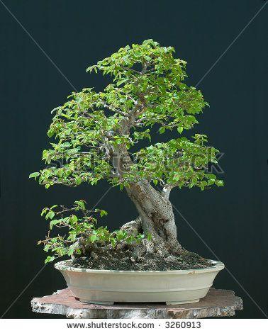 stock-photo-european-hornbeam-bonsai-3260913.jpg 378×470 Pixel
