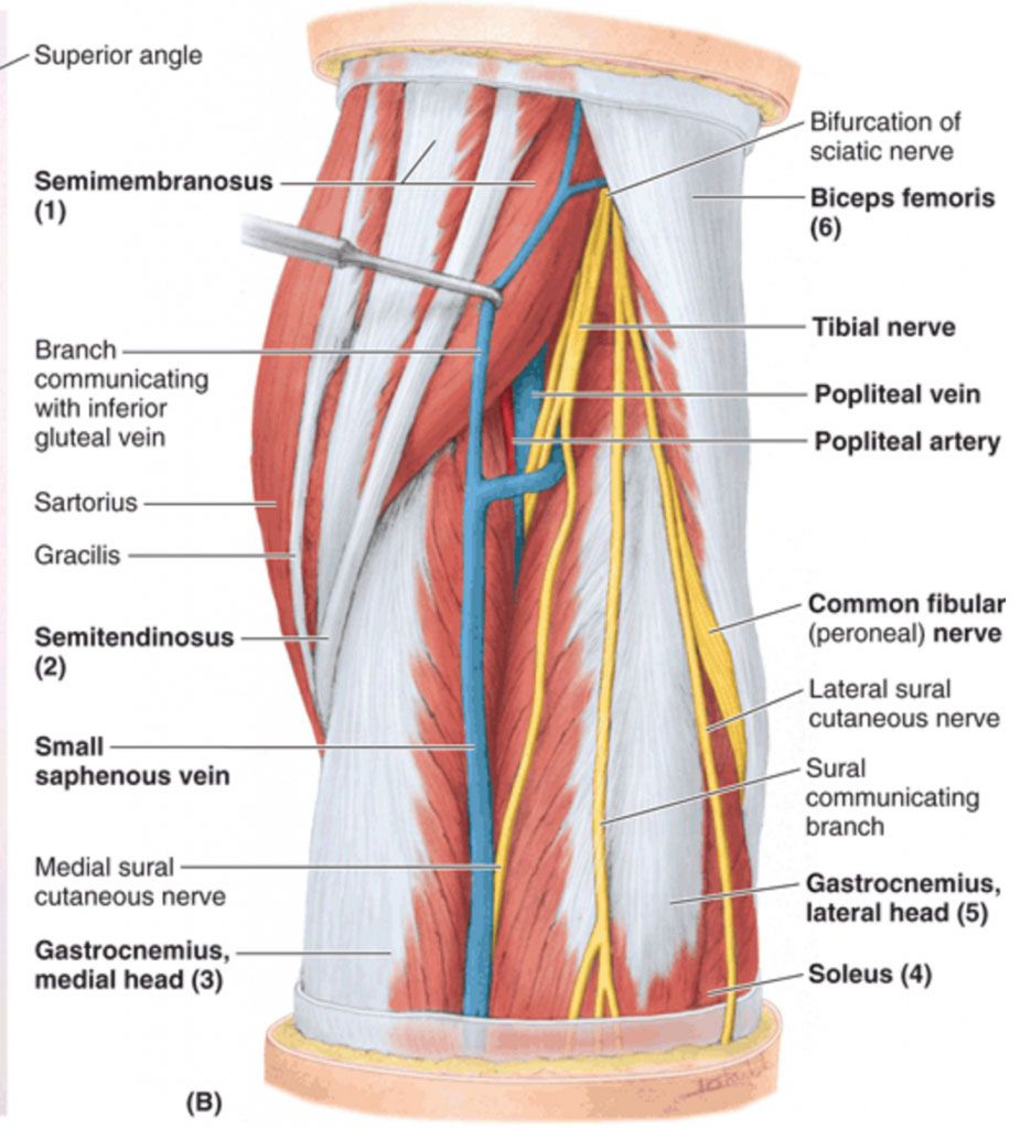 Popliteal Fossa Anatomy And Posterior View Of The Leg Anatomy Note