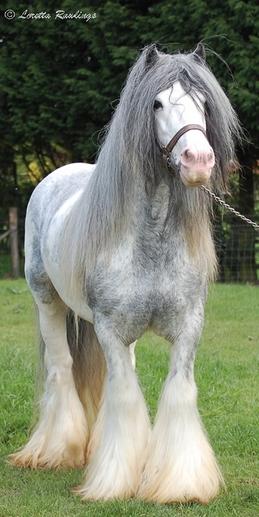 Gypsy Stallion Showcase!