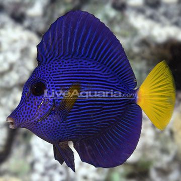 Access Denied Marine Fish Tang Fish Saltwater Aquarium
