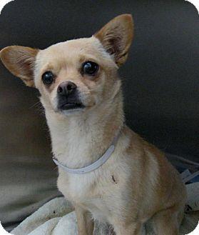 Sun Valley Ca Chihuahua Mix Meet Dolly A Dog For Adoption Dog Adoption Chihuahua Chihuahua Mix