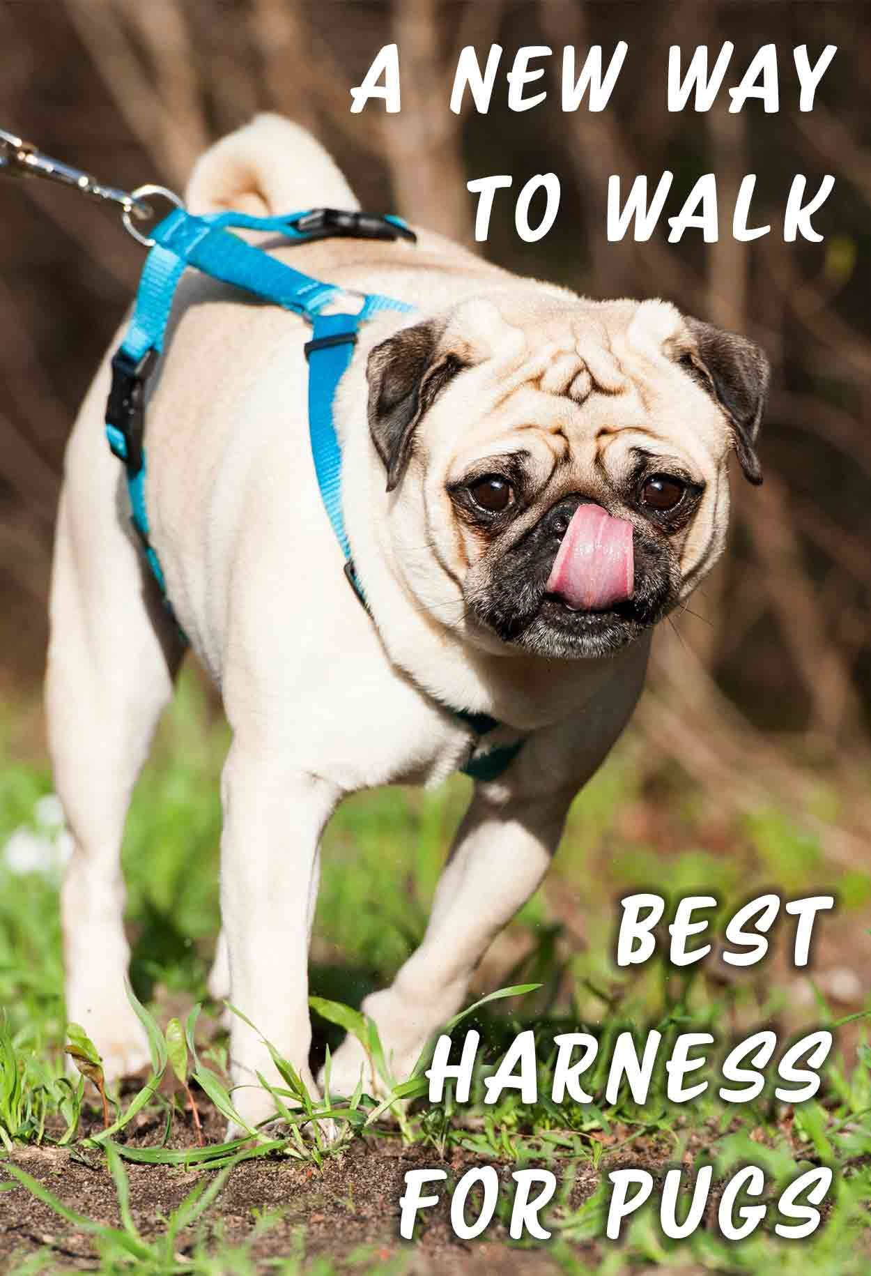 Best Harness For Pugs And Other Small Flat Faced Breeds Dogs