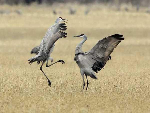 Sandhill Crane Mating Dance Bird Festival Nature Animals Birds