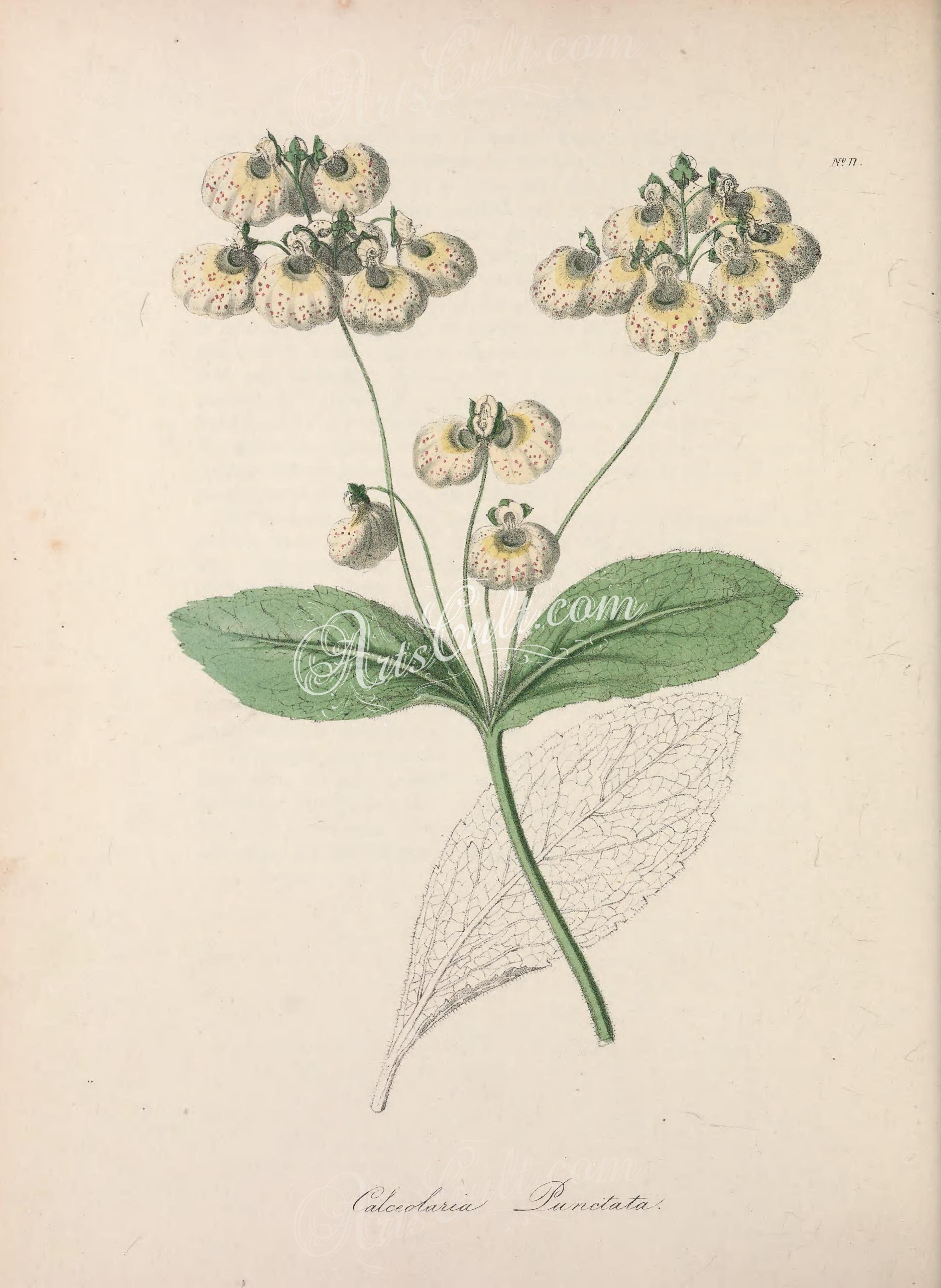 calceolaria punctata      ...