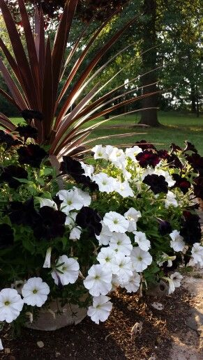 Contrasting Black And White Petunias With Cordyline Plants Flower Pots Outdoor Petunias