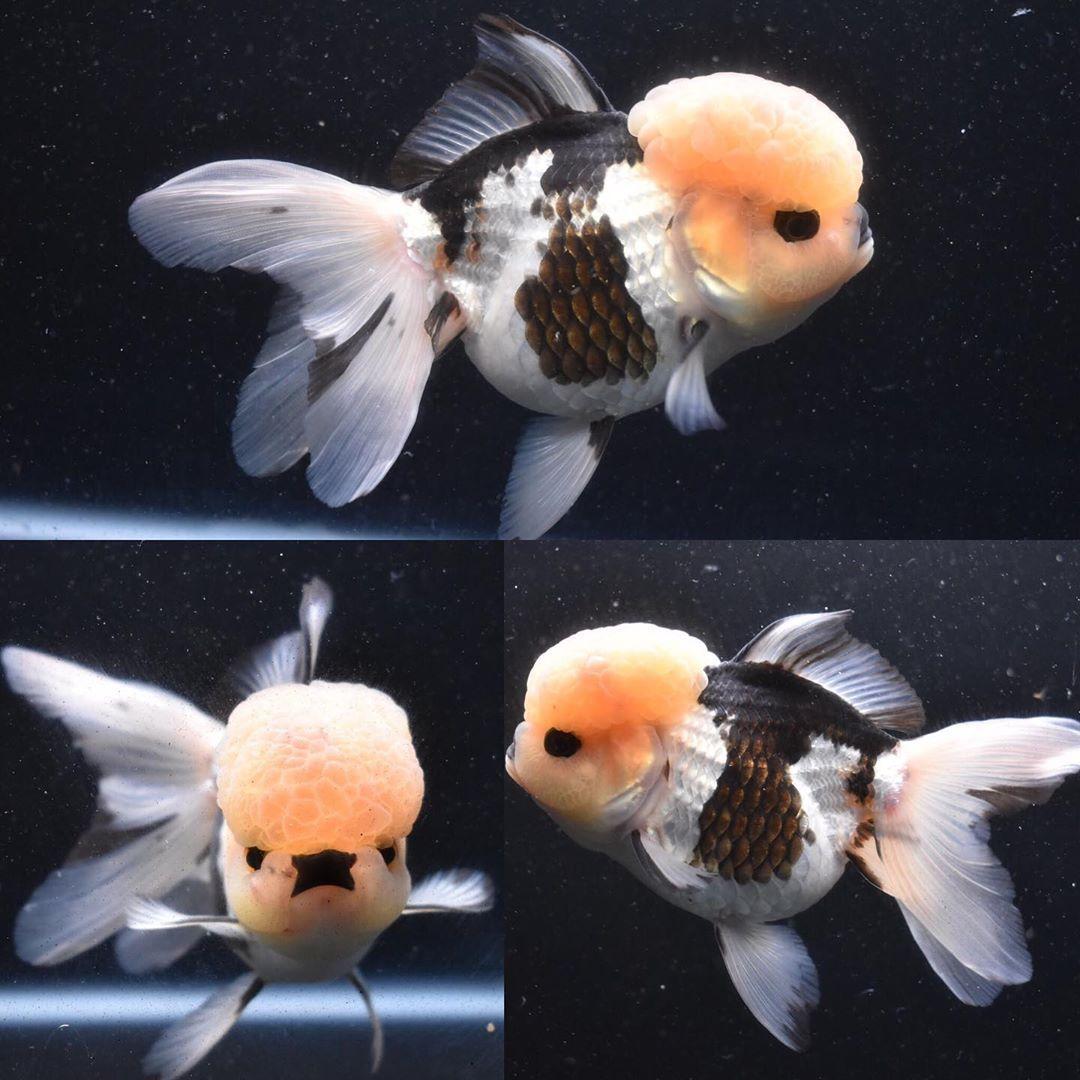 King Koi Goldfish On Instagram Big Headed High Quality Thai Oranda Available Now Id 830toga3 38 Kingkoigoldfi Oranda Goldfish Goldfish Colorful Fish