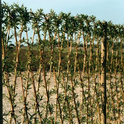 Weidenstecken lebend Benjeshecke, Naturzäune \ Naturhecke - garten pflanzen sichtschutz