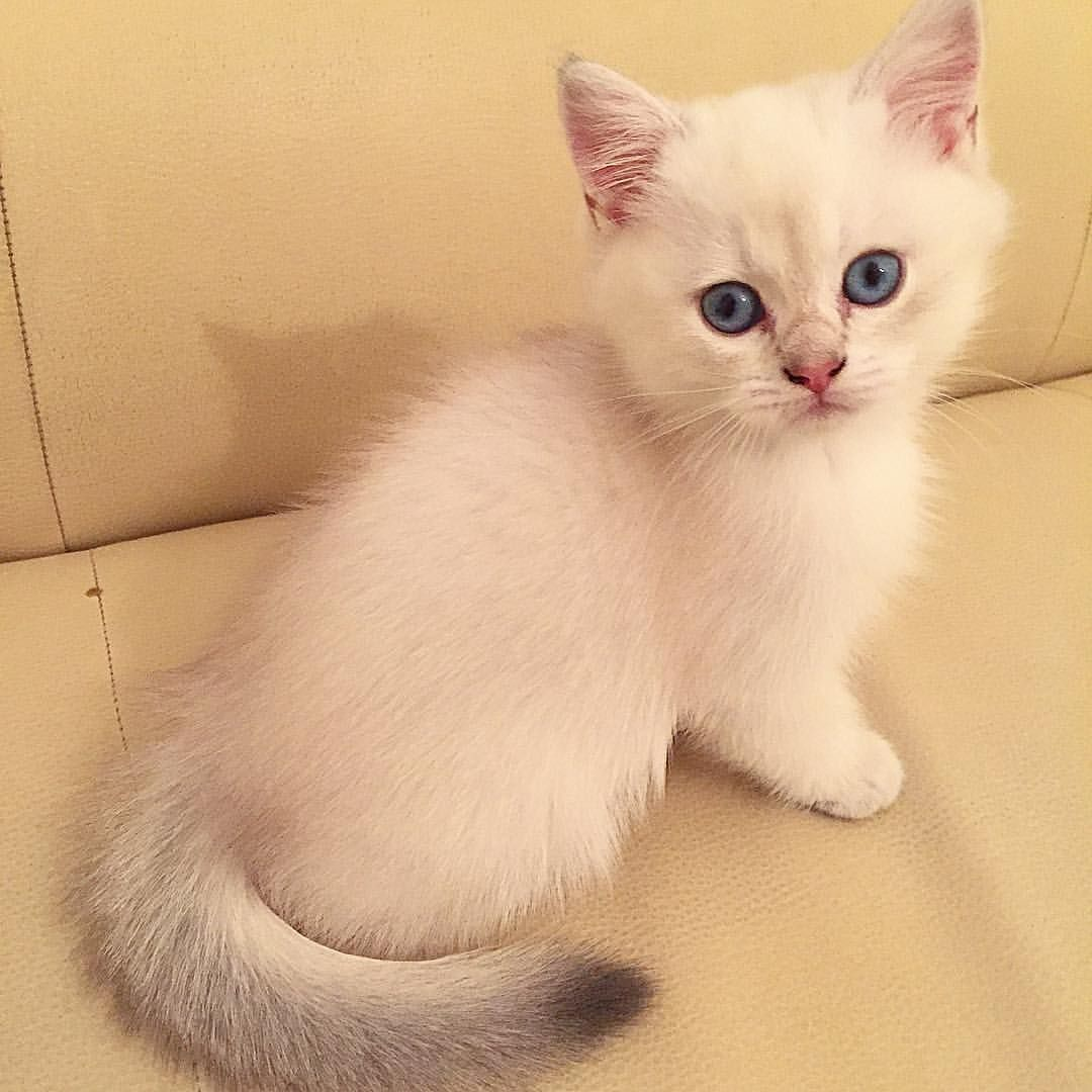 Micky De Zoemi ️ British Shorthair Kitten Blue Golden