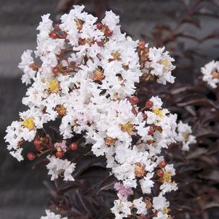 Moonlight Magic is a columnar Crapemyrtle with an extra-long season of bloom, plus great disease resistance.