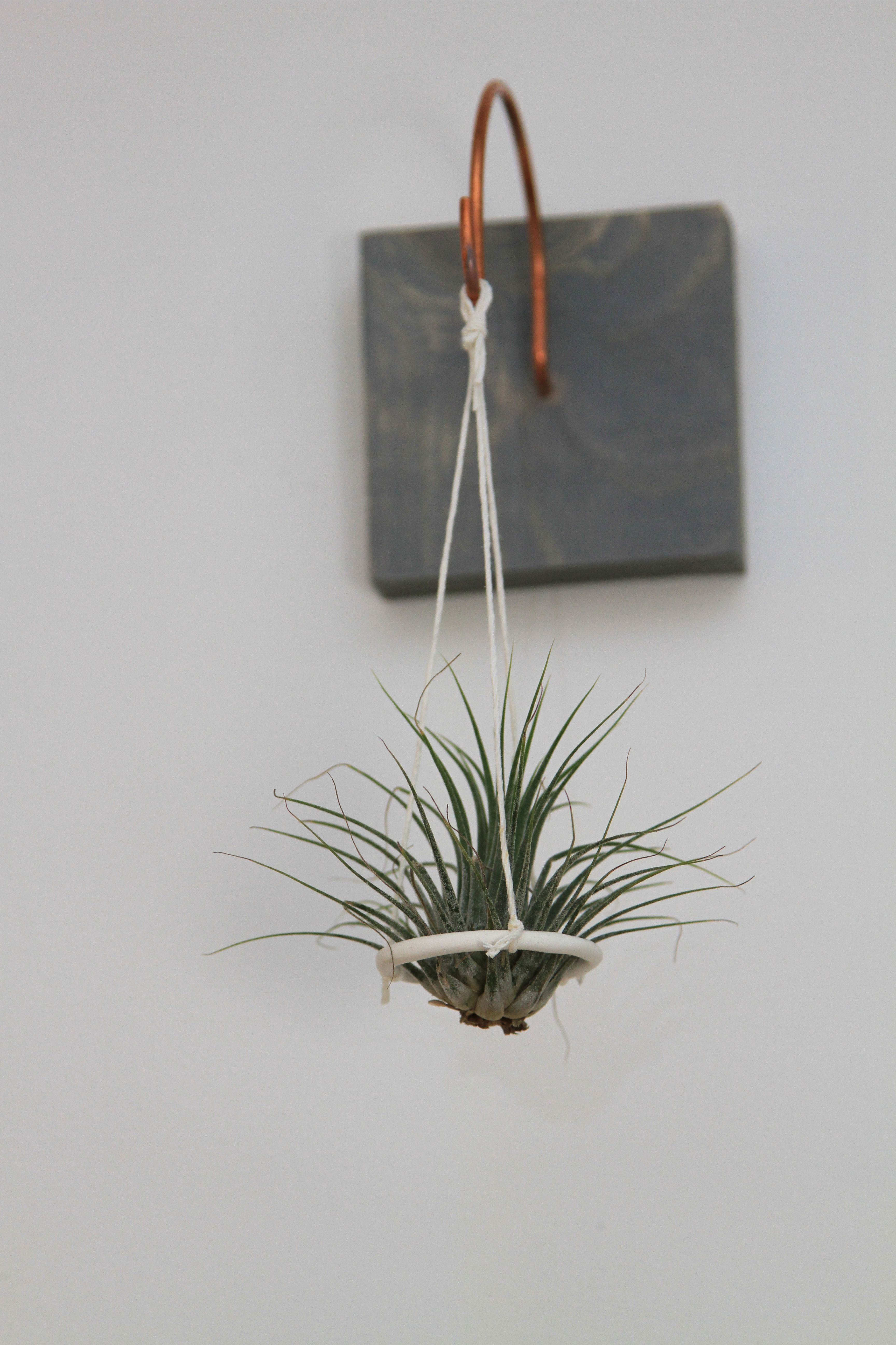 Hanging Air Plant Disc by Gems of the Soil. Hanging