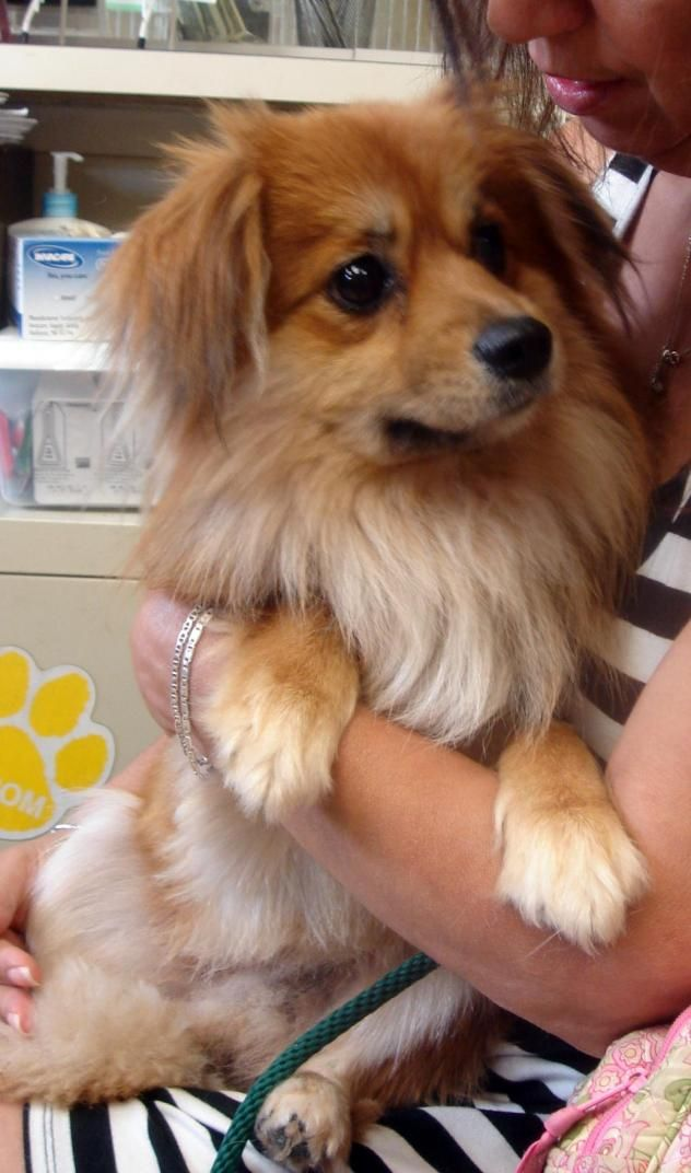 Cavalier King Charles Spaniel Pomeranian Mix 3 Dogs Cavalier