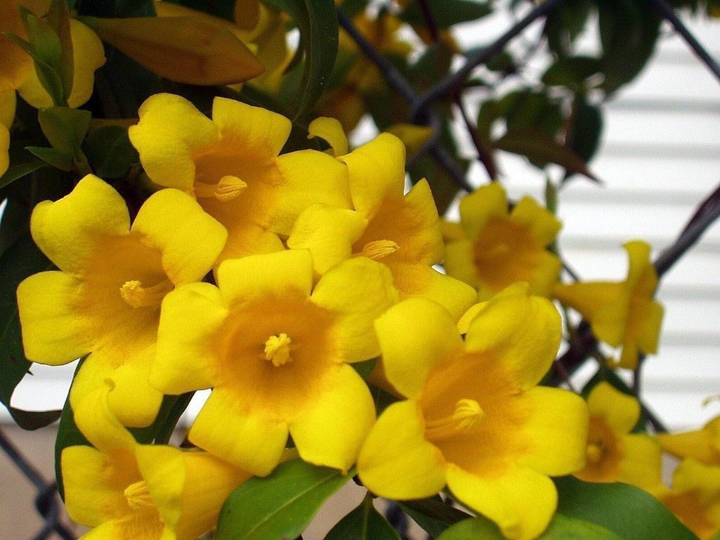 Carolina Jessamine Vines Are Covered With Clusters Of Fragrant