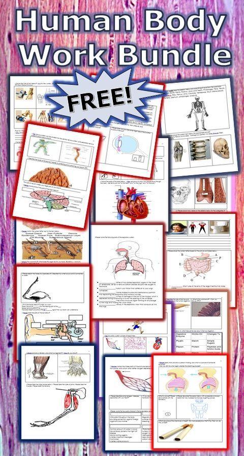 Free Printable Human Anatomy Worksheet Pack Homeschool Giveaways